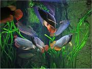 Decorative Arowana Fishes at very good prices.