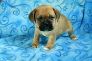 Friendly & lovable Puggle puppieslove