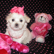 LOVELY MALTESE PUPPY FOR RE-HOMING