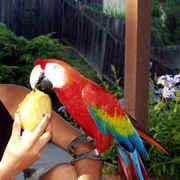best  Scarlet Macaws available for sale
