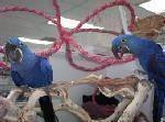 Cute Baby Hyacinth Macaws Ready for a caring home